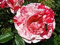 4507 - Bern - Rosengarten - Rose.JPG