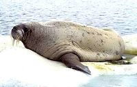 5 Walross 1999