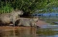 7840 Pantanal capybaras JF2.jpg