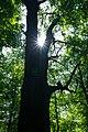 80-361-5048 Kyiv Petra Mohyly Oak SAM 0052.jpg