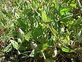 A.triangularis on land.JPG