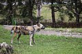 AFRICAN WILD DOG (12974883325).jpg