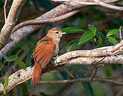 ARREDIO-DO-RIO (Cranioleuca vulpina) (12298441466).jpg