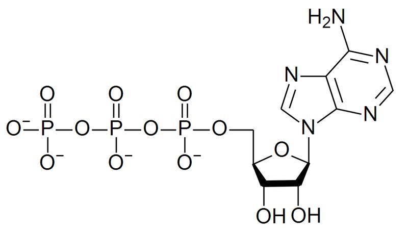 Estrutura do ATP, a moeda de energia da célula.