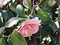 A Camellia flower - Flickr - Matthew Paul Argall.jpg