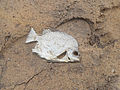 A Dead fish washed ashore at Bheemunipatnam Beach.JPG