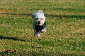 A Maltese Running in the Grass.jpg