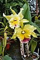 A and B Larsen orchids - Brassolaeliocattleya Greenwich Cover Girl 992-20.jpg