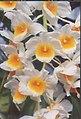 A and B Larsen orchids - Dendrobium densiflorum x farmeri pink 905-15.jpg