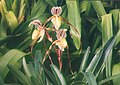 A and B Larsen orchids - Paphiopedilum roebbelenii 441-20.jpg