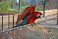 A beautiful red macau in the aviary.jpg