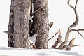 A brown creeper (Certhia americana) searches for food (e6bacbde-4c3a-4390-ab84-1fb305306e1e).jpg