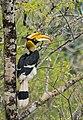 A female Great Indian Hornbill.jpg