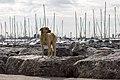 A feral dog in Istanbul-2014-01-23.jpg