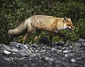 A fox walks along Glacier Creek after emerging from a nearby drainage in Unit 18 in Denali's backcountry on June 13, 2019. (c253847d-d278-4931-bc73-2ac1f46bdffa).JPG