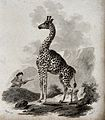 A giraffe standing in a rocky landscape is approached by a h Wellcome V0020738.jpg