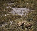 A grizzly bear sow and her cub eat berries and roots from the edge of the Toklat River on August 21, 2019. (80d43cdf-8d6f-4722-907d-662dcfd9f3fc).JPG