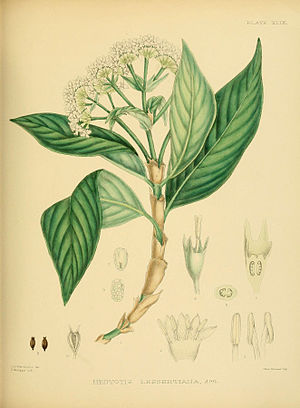Hedyotis lessertiana - Image: A hand book to the flora of Ceylon (Plate XLIX) (6430648961)
