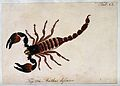 A large scorpion; Buthus defensor. Coloured engraving. Wellcome V0022399.jpg