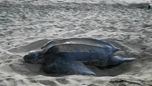 Fil:A leatherback turtle covering her eggs, Turtle Beach, Tobago.ogv