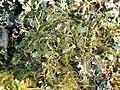 A lichen - Bryoria fuscescens - geograph.org.uk - 1282333.jpg