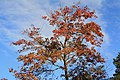 A maple tree in Perry County, PA.jpg