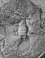 A monograph of the terrestrial Palaeozoic Arachnida of North America photos 6-10 9.png