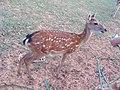 A sika deer in Green Island 2006.jpg