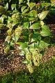 Abelia chinensis - Brooklyn Botanic Garden - Brooklyn, NY - DSC07957.JPG