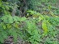 Acacia horrida5.JPG