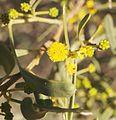 Acacia ligulata flowers.jpg
