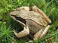 Acadia National Park, wood frog.jpg