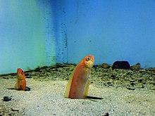 Bandfish