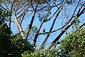 Accipiter melanoleucus (8458758156).jpg