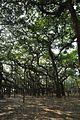 Acharya Jagadish Chandra Bose Indian Botanic Garden - Howrah 2011-01-08 9718.JPG