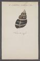Achatina castanea - - Print - Iconographia Zoologica - Special Collections University of Amsterdam - UBAINV0274 088 12 0009.tif