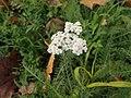 Achillea millefolium 105272347.jpg