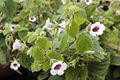 Szobanövények  Wikipédia