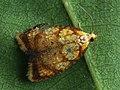 Acleris bergmanniana - Yellow rose button moth (40430707305).jpg