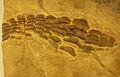 Acrodus.JPG