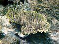 Acropora microclados, Egipto 2.jpg