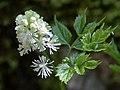 Actaea spicata flower (06).jpg