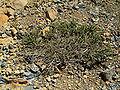 Adenocarpus viscosus (Roque de los Muchachos) 06 ies.jpg