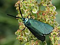 Adscita statices - Green forester - Пестрянка щавелевая (41373517172).jpg