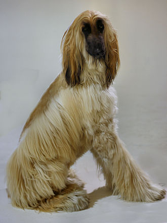 Afghan Hound - Young dog. Many individuals have a black facial mask.