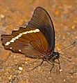 African Blue-banded Swallowtail (Papilio nireus lyaeus) (33203863855).jpg
