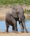 African Elephant (Loxodonta africana) bull ... (47238410541).jpg