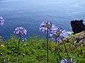 Agapanthus praecox blue Madeira.jpg