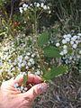 Ageratina riparia branch1 (11508566855).jpg