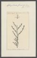 Aglaophenia gaimardii - - Print - Iconographia Zoologica - Special Collections University of Amsterdam - UBAINV0274 111 05 0030.tif